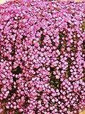 Drosanthemum Barba Di Giove Pianta in vaso di Drosanthemum Barba Di Giove - 10 Piante in vaso 7x7