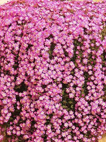 Drosanthemum Barba Di Giove Pianta in vaso di Drosanthemum Barba Di Giove - 3 Piante in vaso 7x7