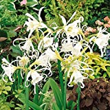 Countia Garden - Lily Seeds Perennial Flower Seeds Rare Lilium Seeds Beautiful Spider Lily Seeds for Garden, Balcony, Terrace