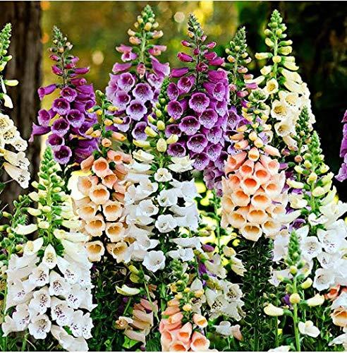 Beautytalk-Garten- Fingerhutsamen Dalmatian-Mischung Fingerhut Großblumige Prachtmischung Blumensamen winterhart mehrjährig für Balkon, Garten