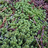 花の様に可愛いスナゴケ~もこもこ~ふんわり育てやすく 苔庭で絨毯の様なもこもこお庭に! 苔テラリウムに最適! (金曜締切⇒土日採取⇒月曜日発送)