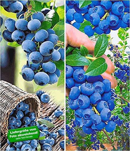 BALDUR Garten Heidelbeer-Sortiment, 2 Pflanzen, Trauben-Heidelbeere Reka und Heidelbeere Hortblue Blaubeeren Heidelbeeren Pflanze, Vaccinium corymbosum reichtragend