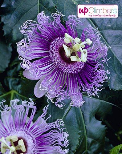 Passiflora caerulea Fleur de passiflore hivernale, beauté exotique, env. 65 cm de haut dans un pot de 15 cm (violet haze violet)