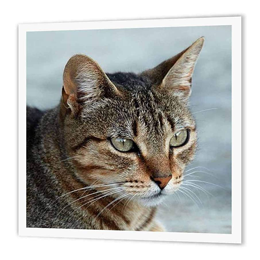3dRose ht_16934_3 Tabby Cat Portrait Iron on Heat Transfer Paper for White Material, 10 by 10