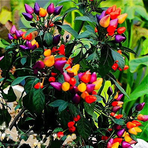 Heirloom Thai Sun Hot Pepper Seeds Capsicum Annuum Ornamental Plants Chili Seeds 100 Pcs Bonsai Tree For Garden Vegetable Seed Yellow