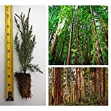 """3 Giant Sequoia Tree California Redwood Potted 8"""" - 10"""" Tall Seedling"""