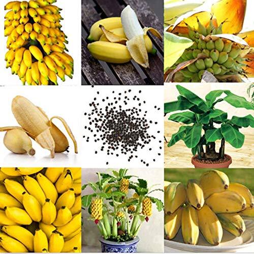 Qbisolo 100 Pcs Rare Dwarf Banana Seeds Mini Bonsaï Fruit Exotique Accueil Plantes De Jardin