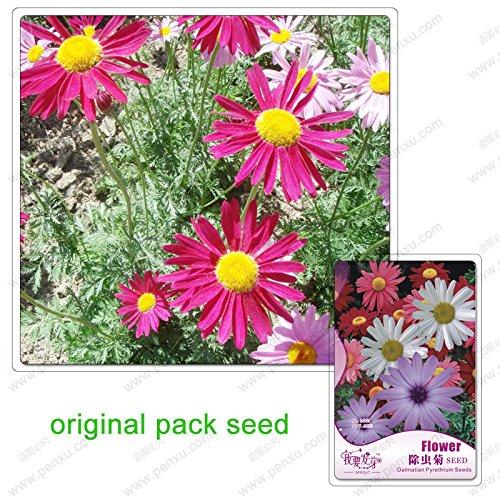 60 graines/Pack, graines dalmate pyrèthre, pyrèthre graines de cinerariifolium, chrysanthème, Balcon Potted