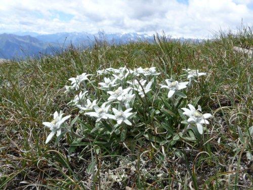 Asklepios-seeds® - 100 Samen Leontopodium alpinum, Alpen Edelweiß