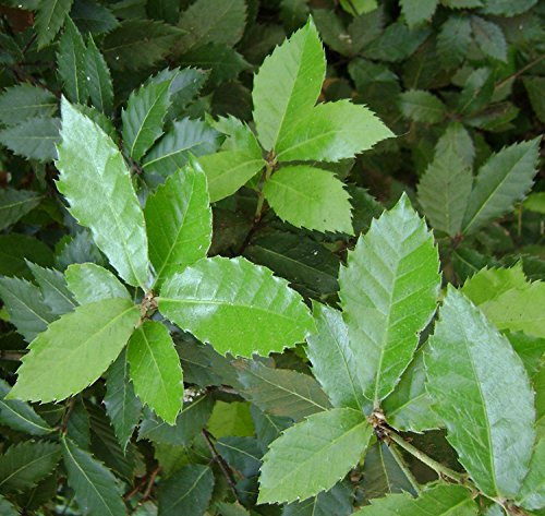 RWS 10 Quercus ilex semillas, roble, roble immergrüne, ideales como bonsái, Encina