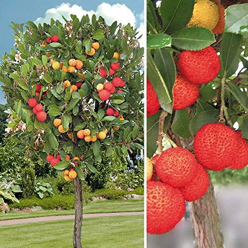 Frische Arbutus unedo (Exotic Fruit Erdbeerbaum Seltene Blüte madroño Seed) 15 Samen