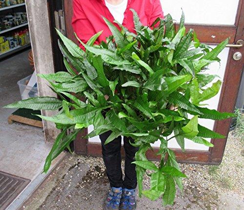 WFW wasserflora Super große, buschige MUTTERPFLANZE Javafarn/Microsorum pteropus