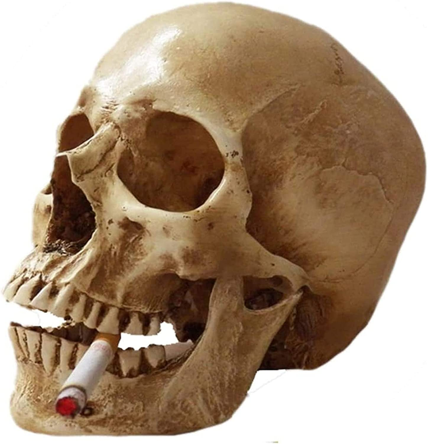 Life Size Max 63% OFF Human Skull Max 52% OFF Anatomy Model for An Resin Medical Replica