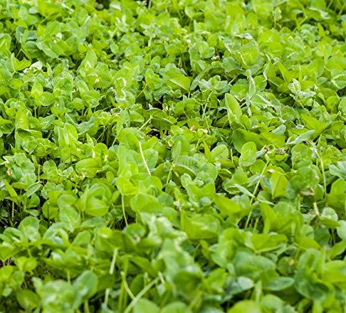 Outsidepride Clover King Deer Food Plot Seed - 10 LBS