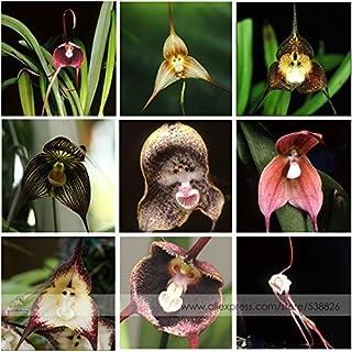 RWS 100 semillas con cara de mono 9 variedades de orquídeas Drácula Simia cara del mono raro raro raro mixtos