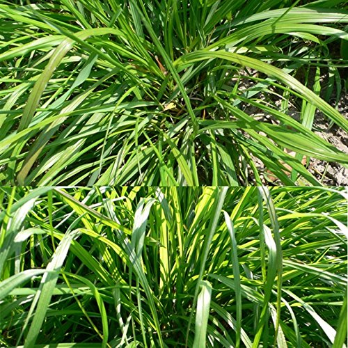 2016 Nouvelle arrivée! 100PCS rares Graines de fumée des Prairies, rares Graines de plantes, graines Bonsai Fleur, croissance naturelle, des plantes pour la maison Jardin