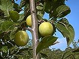 Pflaumenbaum Große Grüne Reneclaude LH 120 - 150 cm, Pflaumen gelb-grün, Halbstamm, mittelstark wachsend, im Topf, Obstbaum winterhart, Prunus domestica