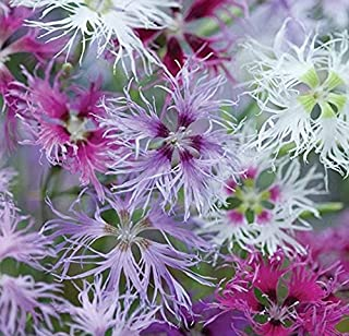 Nianyan Dianthus, Rainbow Loveliness Mix (200 Flowers Seeds) Soft, Feathery . Perennial