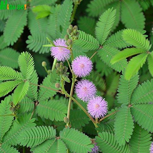 Mimosa des graines de plantes Singular, simples plantation, jardin, fleur magique, intérieur en pot les plantes, bonsaïs