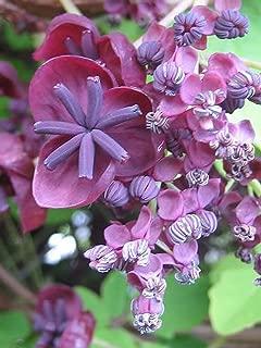 30 Chocolate Vine Edible Fruit Akebia Trifoliata Flower Ornamental Climber Seeds SVU19