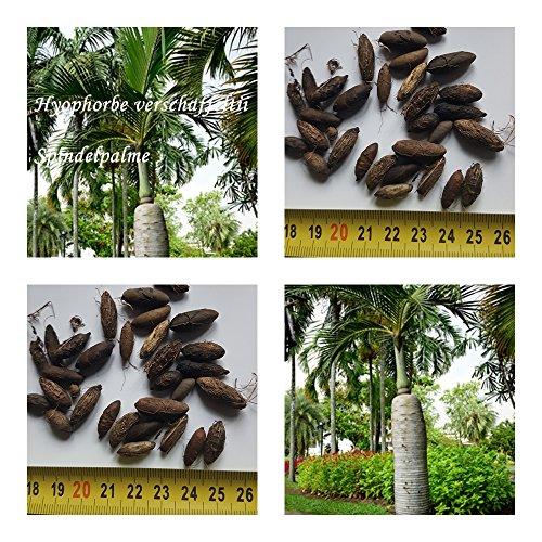 Spindelpalme - Hyophorbe verschaffeltii - Samen (10)