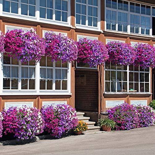 Soteer Garten - Hängende Petunien Blumensamen gemischte Farben Blume Staude Petunia-mix Samen mehrjährig winterhart für Garten Balkon/Terrasse