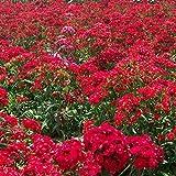 Aerlan Plantes ornementales,American Dianthus Graine verdissement des graines de Fleurs en Pot-Deep Red_20,Graine parfumée Vivace