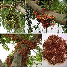 CROSO Seeds PACAKGE ONLY NOT Plants: Cluster Seeds, Ficus racemosa, Seed Bonsai Seeds, Thai Unique A Native
