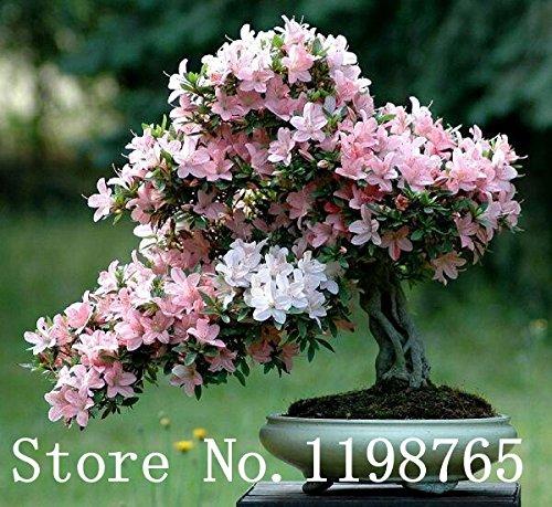 Japonais graines Sakura fleur 10pcs / lot de fleurs de cerisier Sakura Graines Bonsai arbre Graines 6 cerise Couleur Vert