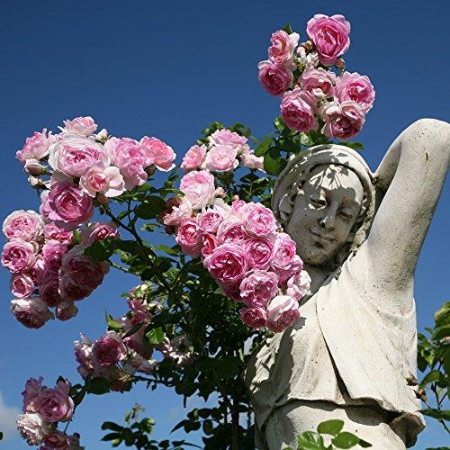 Kletterrose Jasmina in Violett-Rosa - ADR Kletter-Rose Nostalgie duftend - Pflanze für Rankhilfe im 5 Liter Container von Garten Schlüter - Pflanzen in Top Qualität