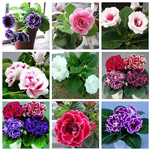 9 Colors Gloxinia Seeds Perennial Bonsai Balcony Flower - 100 Pcs Garden Decoration Bonsai Flower Seeds