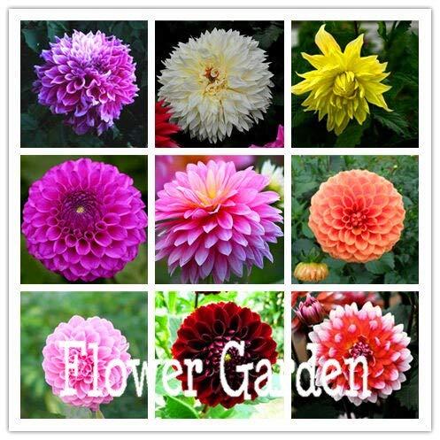 Kalash Neue 100 PC Dahlia Blumensamen für Garten Multi-Color