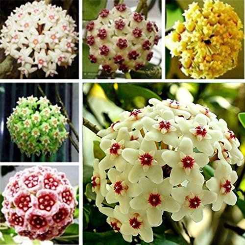 Beautytalk-Garten 100 Stück Porzellanblume Wachsblume Hoya Samen Ball Orchidee Samen winterhart mehrjährig Blumensamen für Balkon/Garten