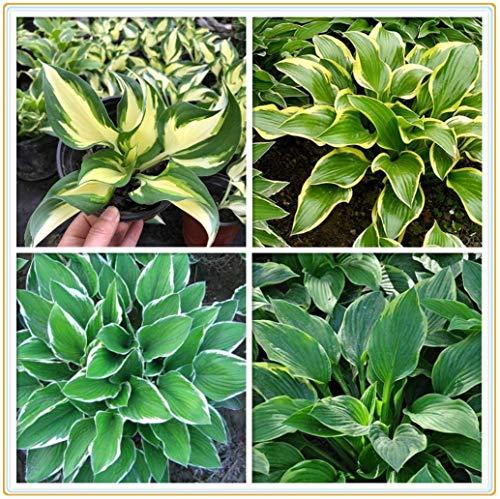 Stauden Hosta Hybride Funkie, Herzblattlilie /Garten Zimmerpflanzen grüne Umweltschutzpflanzen, Pflanzenluftreinigung Zimmerpflanzen-5Rhizome