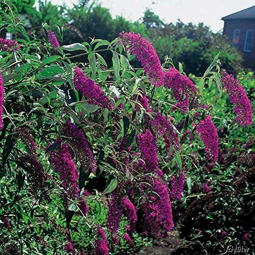 Schmetterlingsflieder Royal Red -...