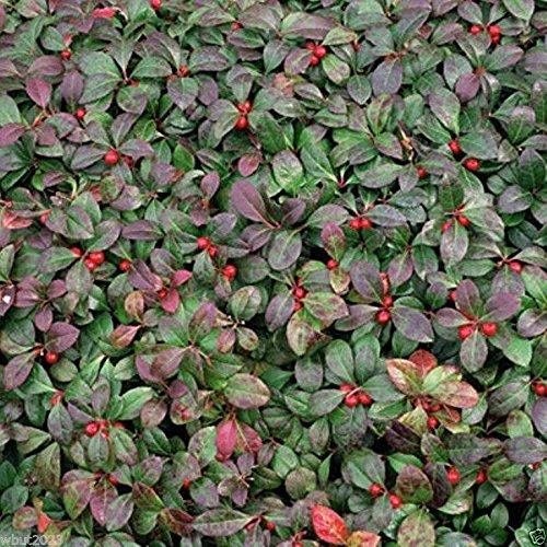 30+Seeds Gaultheria Procumbens American Wintergreen Seeds