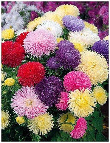 Lot 50 graines de Reine Marguerite Princesse en mélange - plante annuelle