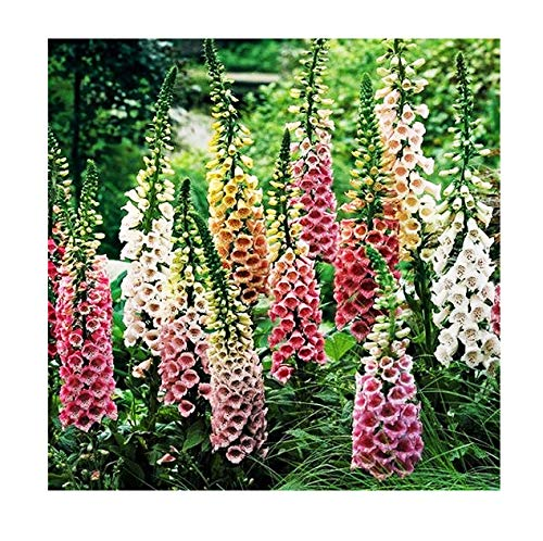 Foxglove Seeds - Excelsior Mixed Colors - Approximately 10,000 Fine Seeds