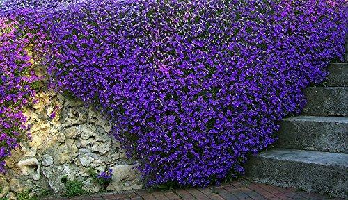 Semi di fiore viola Aubretia Fioletovaya perenne
