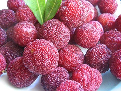 50 Myrica rubra Samen, Pappelpflaume, Yangmei, Bayberry, 杨梅, ヤマモモ, chin. Arbutus