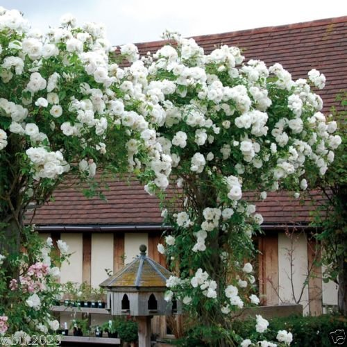 Climbing Rose Seeds, WHITE FLOWERS, Perennials , fence, pillar, shed