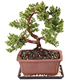 Brussel's Live Green Mound Juniper Outdoor Bonsai Tree - 5 Years Old; 8' to 12' Tall with Decorative Container, Humidity Tray & Deco Rock