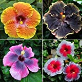 100 bonsai semillas de flor Hibiscus syriacus, color de la mezcla, jardín de DIY en maceta o jardín de flores de plantas,