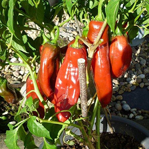 Samen für ca. 20 Pflanzen Anaheim Chili – Pflanze bis zu 150cm, milde Sorte