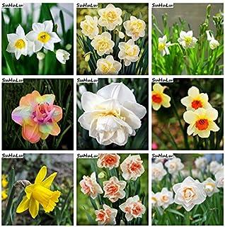 AGROBITS 120 piezas de la flor del narciso del arco iris mezclado Bonsai (No narciso Bulbos) Narciso doble pétalos Flore en maceta del jardín de DIY siembra: mixta