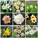 AGROBITS 120 Pcs arc-en-Fleur de narcisse mixte Bonsai (non jonquille Bulbes) Flore Jonquille pétales de double pot jardin Diy Plantation: mixte