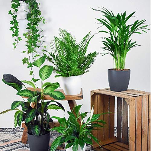 5 luftreinigende Zimmerpflanzen inkl. 5 Elho Ziertöpfen   Kombi-Angebot   Hedera   Spathiphyllum   Areca-Palme   Calathea und ein Baumfarn