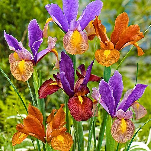 30x Iris hollandica'Tiger   Set of 30 Dutch Iris Bulbs   Garden Bulbs   Flowers for Garden   Fower Bulbs Ø 6-7cm'