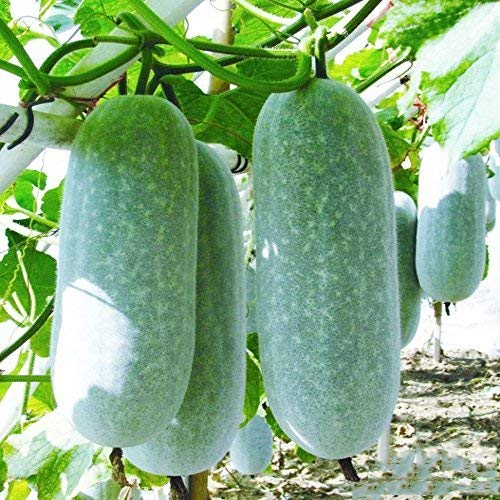 Winter Melon Seeds 10g Wax Gourd Hairy Tong Round Tong Garde