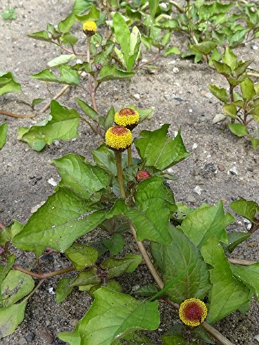 Parakresse, Jambú (Spilanthes oleracea) 250 Samen Husarenknopf Prickelknopf